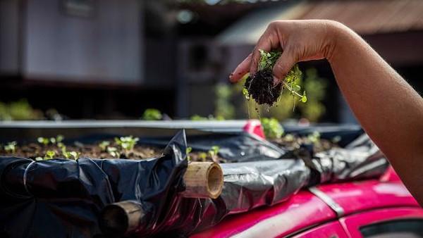 Sebuah perusahaan taksi melihat peluang dari taksi-taksi mangkrak itu. Mereka menggunakan atap-atap mobil di lahan parkir sebagai lahan tanaman sayur.(Getty Images/Lauren DeCicca)