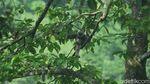 Konservasi Hutan Petungkriyono dengan Kopi Owa