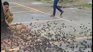 Jejak Kematian Massal Burung Pipit di Sukabumi-Cirebon