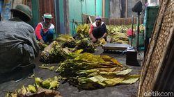 Budaya Sambatan Merajang Tembakau di Desa Nglelo