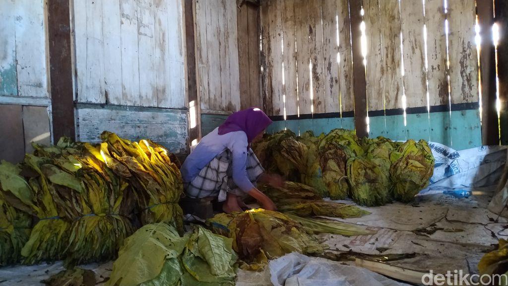 Aktivitas merajang tembakau di Warga Desa Nglelo, Getasan, Salatiga Kabupaten Semarang. (Erliana Riady/detikcom)