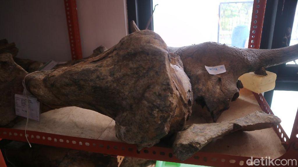 Fosil Gajah Stegodon-Kepala Banteng Kudus Diusulkan ke Registrasi Nasional