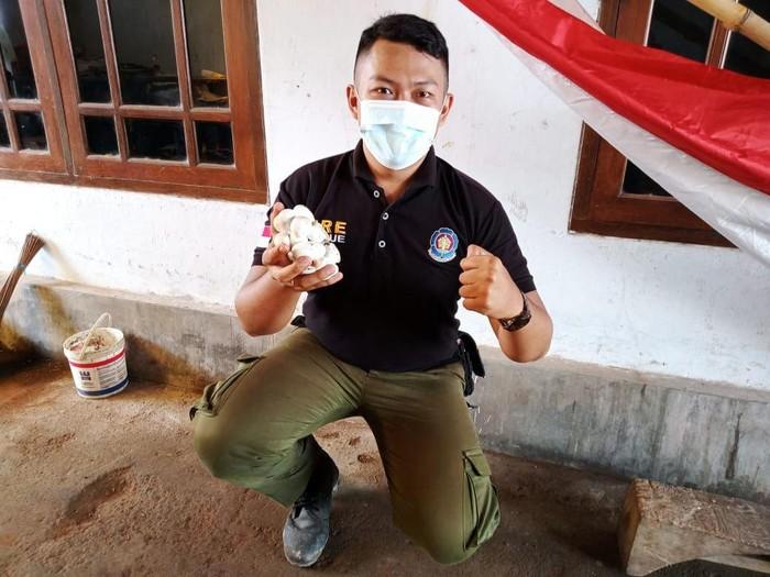 Sarang ular king kobra ditemukan di Madrasah Ibtidaiyah Al Ala, Benculuk, Cluring, Banyuwangi. Saat ini ular yang bersarang di sekolah tersebut telah berhasil dievakuasi.
