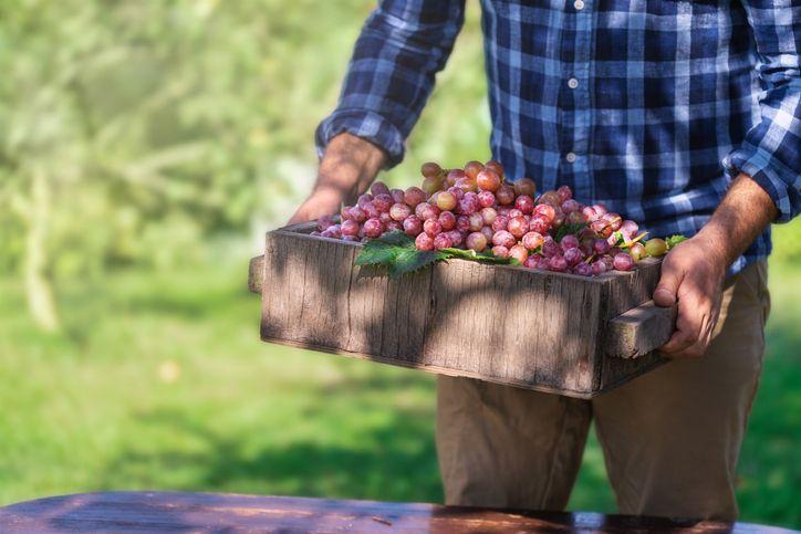 Keren! Petani Anggur Ini Sukses Budidayakan Anggur Premium dari Ukraina