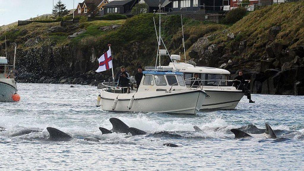 Ngerinya Pembantaian 1.400 Lumba-lumba, Meronta-ronta Ditonton Ratusan Orang