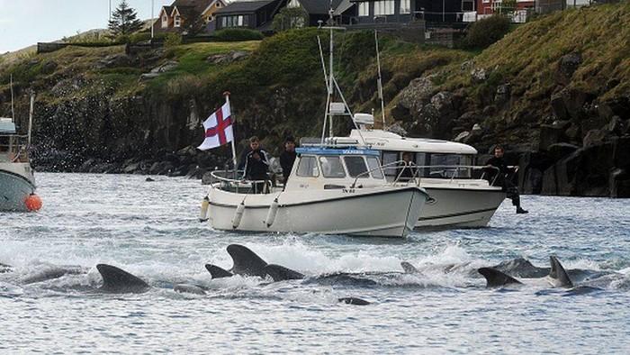 Pembantaian massal lebih dari 1.400 lumba-lumba, yang meronta-ronta dan laut memerah karena darah di Kepulauan Faroe dalam sehari memicu kemarahan,
