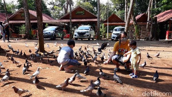 Dengan modal biji jagung, wisatawan bisa memancing lebih banyak burung merpati datang. Anak-anak pun dapat bermain untuk mengobati kekecewaannya. (Pradito Rida Pertana/detikTravel)