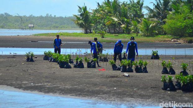 Penanaman pohon mangrove di Pangandaran