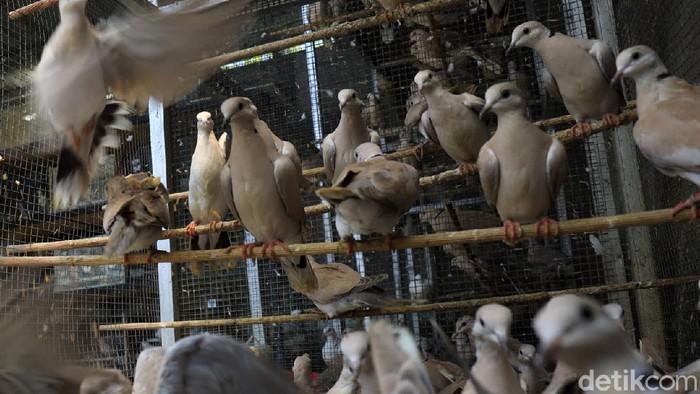 Endang Tonari (35) warga Bantul, Yogyakarta, beternak burung puter pelung setelah bisnis pariwisatanya turun. Kini ia bisa menangkarkan 15-20 anakan pelung puter/bulan.