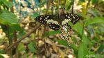 Begini Penangkaran Kupu-kupu Buatan Pasutri di Magelang