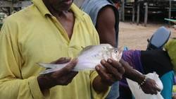 Ikan yang Unik dari Papua, Disebut Ikan Kaca dan Perawat
