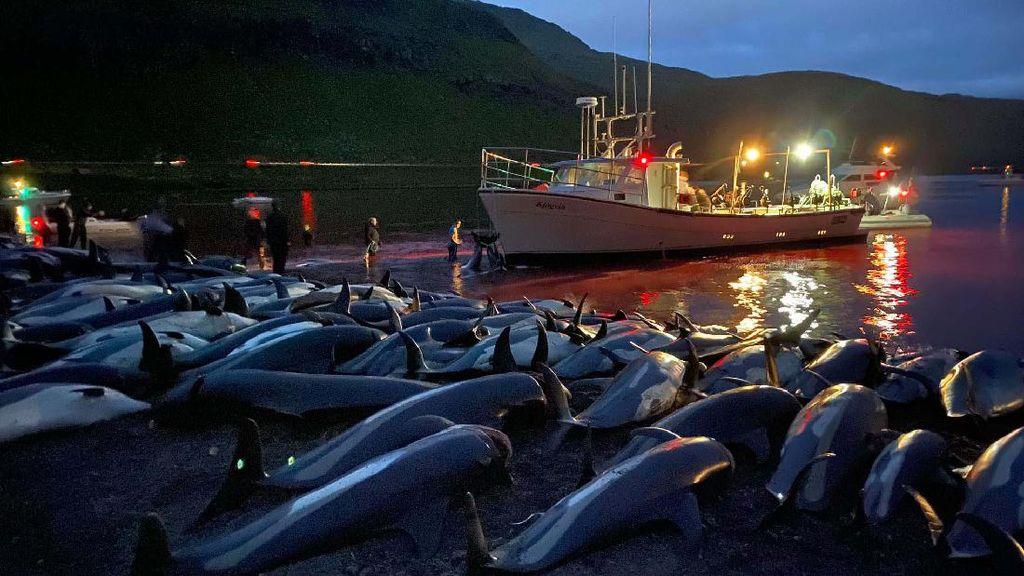 Ini Potret Ribuan Lumba-lumba yang Dibunuh di Kepulauan Faroe