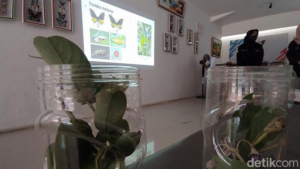 Keren! Pasutri di Magelang Ini Sukses Tangkarkan Kupu-kupu