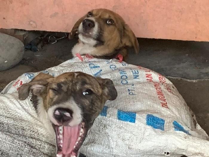 Penampakan anjing yang diamankan dari rumah jagal di Bantul