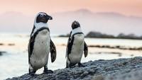 Duh! Puluhan Penguin Tewas Diduga Disengat Lebah