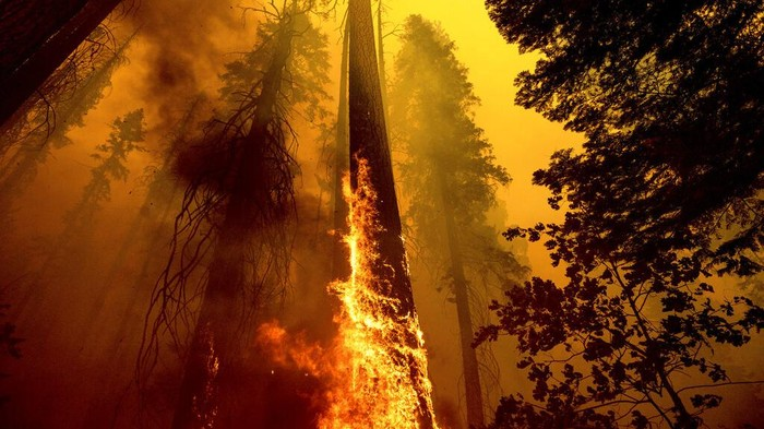 Kebakaran hutan yang melanda California ancam keberadaan pohon terbesar di dunia. Sejumlah upaya dilakukan untuk menyelamatkan pohon raksasa itu dari amukan api