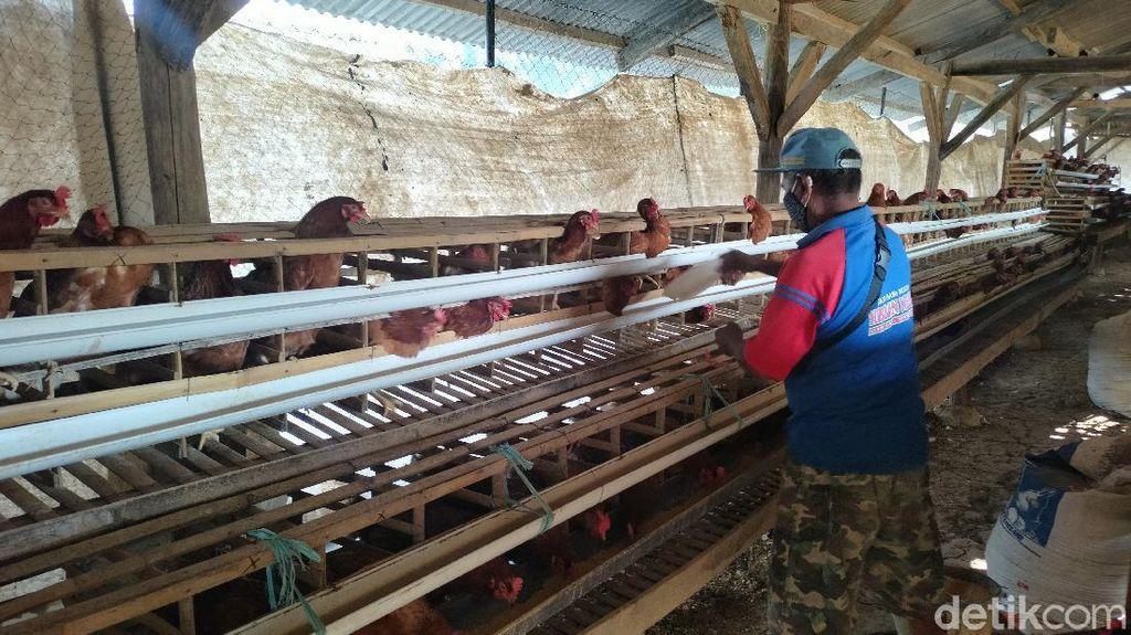 Harga Telur di Majalengka Anjlok, Peternak Terpaksa Nombok