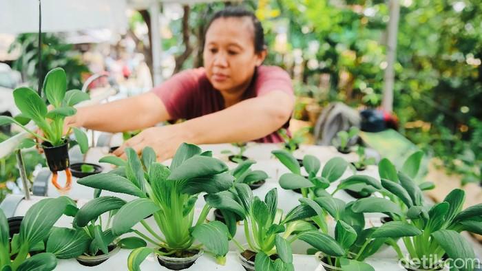Seorang warga Petamburan, Jakarta Pusat, memanfaatkan lahan kosong untuk bercocok tanam sayuran lewat teknik hidroponik. Penasaran?
