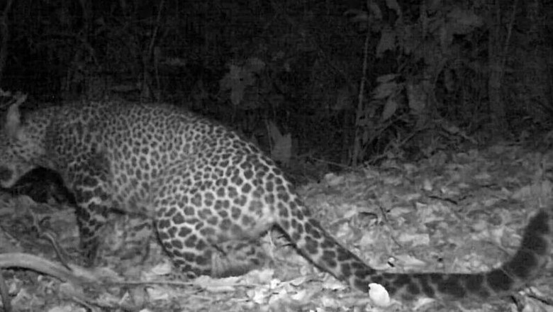 Macan tutul Jawa terekam kamera di Gunung Sanggabuana Karawang