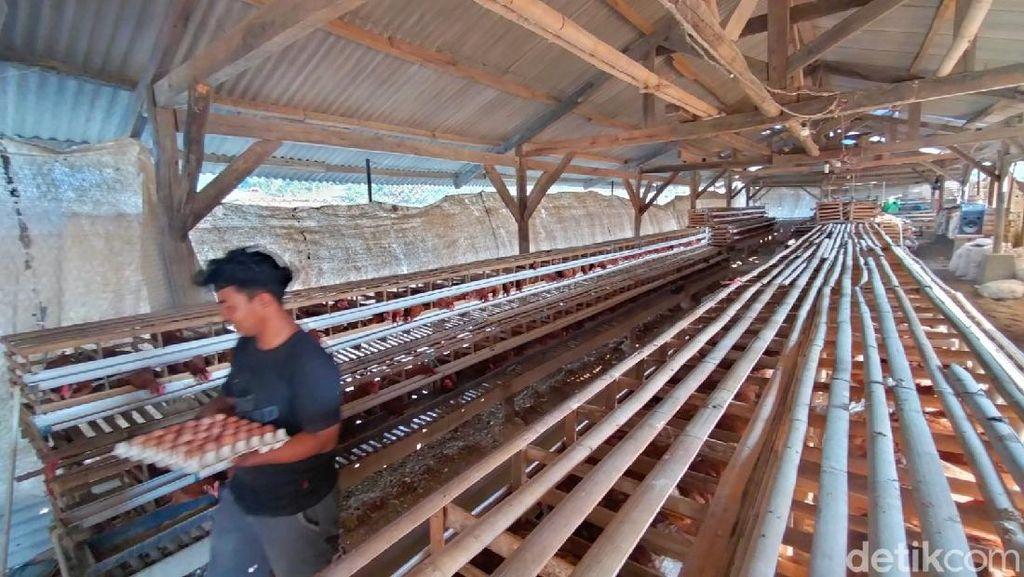 Keren! Mahasiswa di Majalengka Biayai Kuliah dari Beternak Ayam