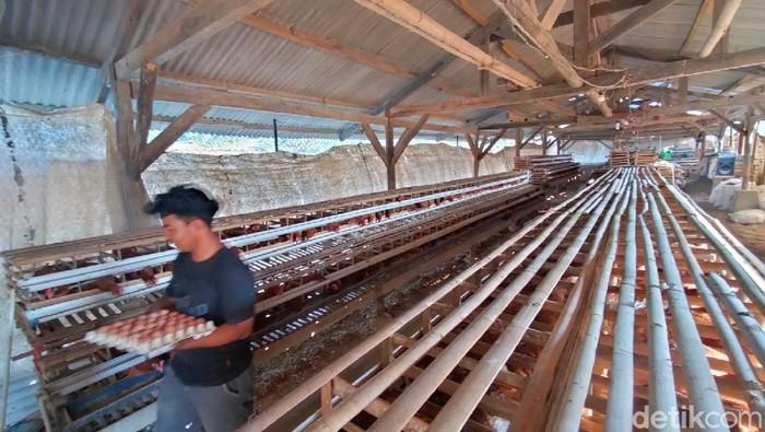Mahasiswa di Majalengka biayai kuliah dari hasil ternak ayam