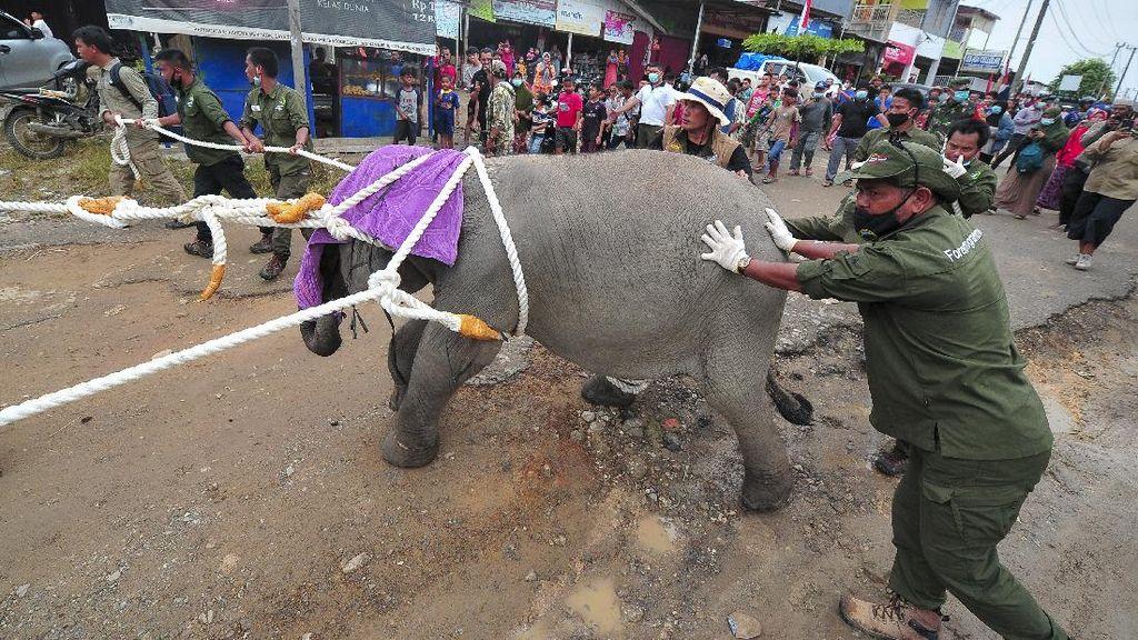 Tiki Taka Translokasi Gajah Sumatera