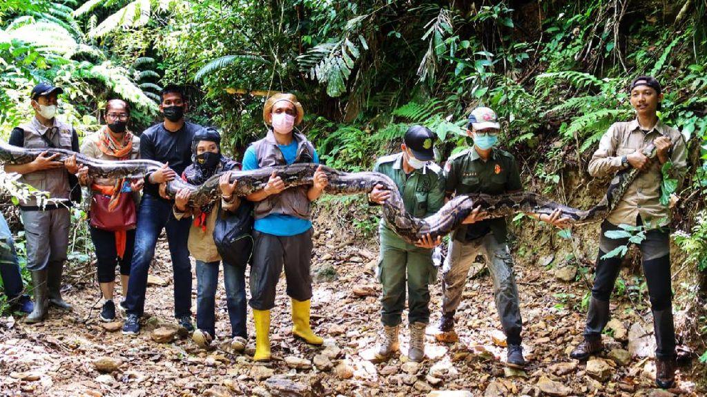 Penampakan Ular Piton 9 Meter yang Dilepasliarkan ke Hutan Riau