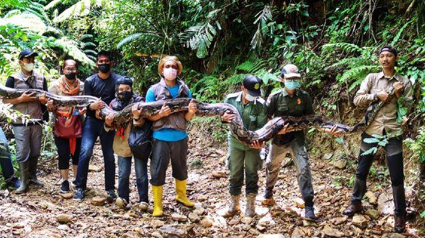 Ular piton yang ditangkap warga di kebun sawit Riau dilepasliarkan ke hutan. Beratnya yang capai 120 kg membuat ular itu diangkut 5 orang saat akan dilepaskan.