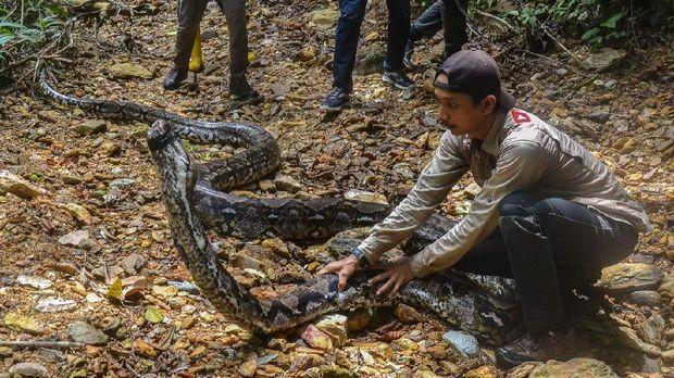 Usai ditagkap warga. Ular piton sepanjang 9 meter  dan berumur 30 tahun dilepasliarkan di hutan Riau