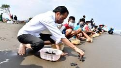 Saat Jokowi Lepas Tukik di Pantai Kemiren