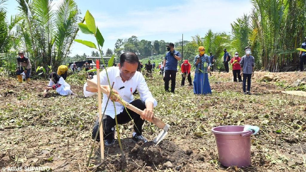 Momen Jokowi Tanam Mangrove-Naik Perahu Seberangi Sungai Sapa Warga Cilacap