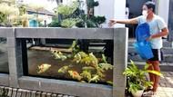 Unik, Kolam Koi Jadi Pagar Rumah di Malang