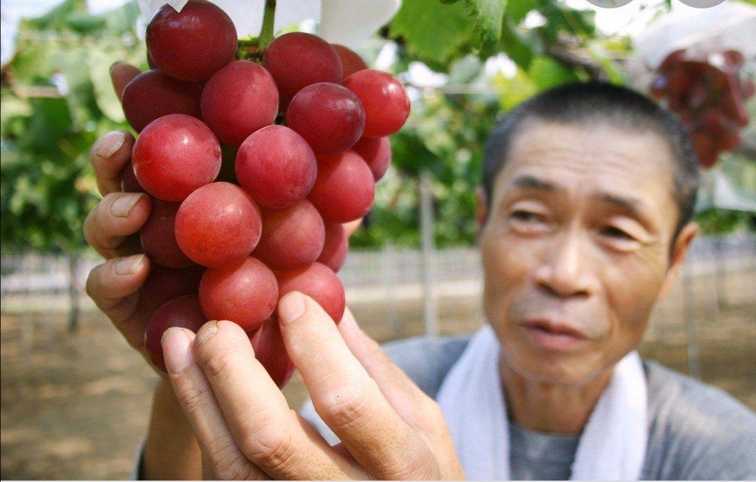 Angur Langka di Jepang 'Ruby Roman'. Terjual seharga Rp 167 juta