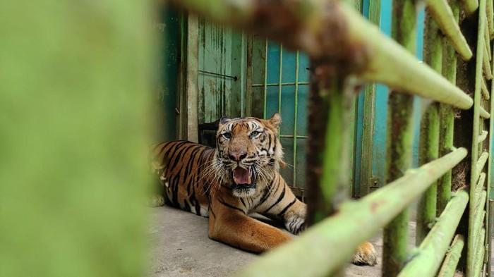 Harimau kurus di Medan Zoo