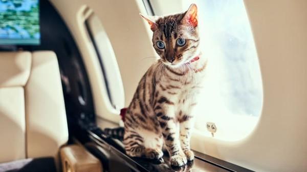Sistem penerbangan yang kacau membuat hewan peliharaan hewan ini sering ditemui di jet pribadi. Memang transportasi ini tak terjangkau bagi sebagian orang, tapi pandemi telah mengubahnya secara signifikan mulai tahun 2019 (Foto: CNN)