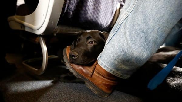 Saat ini, banyak maskapai mengizinkan penumpang untuk mengangkut kucing atau anjing dengan berat kurang dari 11 kilogram di kabin. Syaratnya adalah hewan itu harus ditempatkan di kandang yang muat di bawah kursi depan (Foto: CNN)