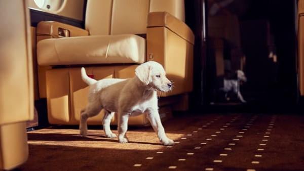 Hewan peliharaan seperti anjing, kucing, kelinci hingga burung kian sering dijumpai di jet pribadi. Seperti tuannya, mereka juga menjadi tamu eksklusif (Foto: CNN)