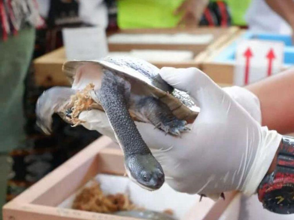 Dikembalikan Singapura, Kura-kura Leher Ular Rote Akan Dilepas ke Danau Peto