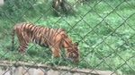 Potret Harimau Kurus-Makan Rumput di Medan Zoo