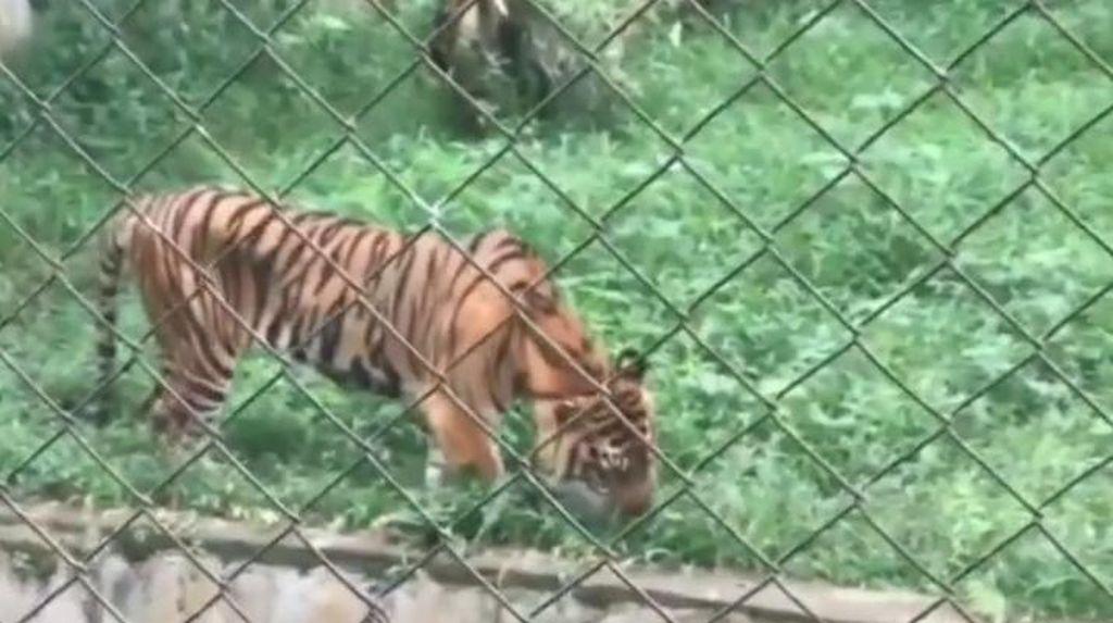 Viral Harimau Kurus di Medan Zoo, Ini Kata BKSDA Sumut