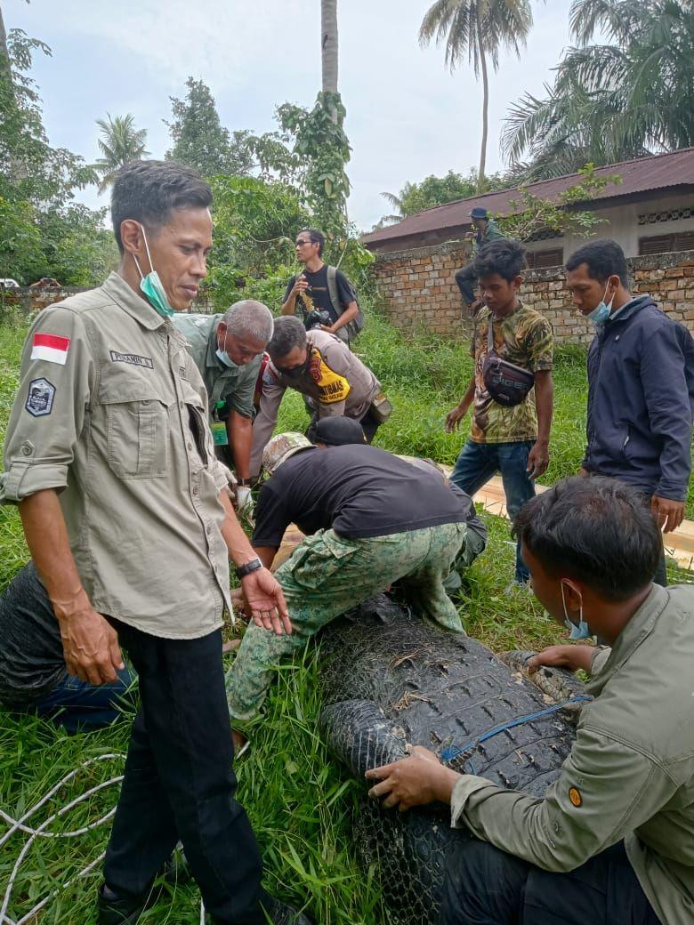 Evakuasi buaya jumbo 400 Kg dari penangkaran di Jambi (dok. BKSDA)