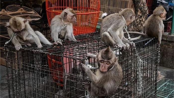 Penjualan bayi monyet ekor panjang di Pasar Burung Satria, Denpasar, Bali. (Dok. Jakarta Animal Aid Network/JAAN)