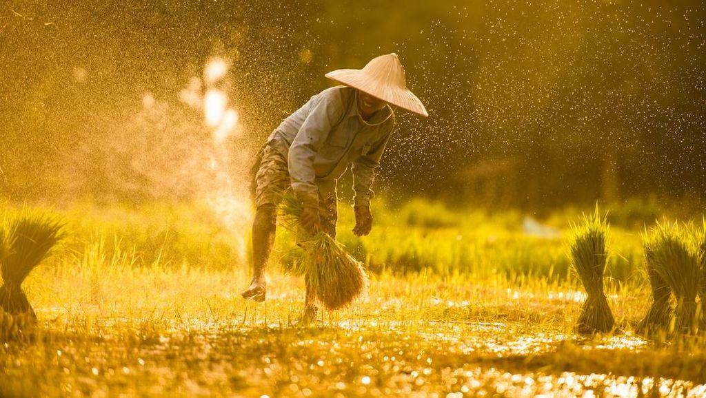Top! Petani di Klaten Produksi Benih Padi Beromzet Ratusan Juta