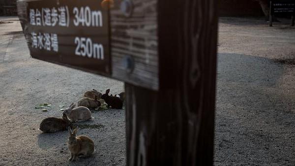 Menjadi salah satu destinasi wisata yang cukup populer di Negeri Sakura, Pulau Okunoshima tak cuma dikenal sebagai pulau kelinci. Pulau itu juga menyimpan sebuah kisah yang memilukan. Pulau itu diketahui sempat digunakan Tentara Kekaisaran Jepang untuk memproduksi ribuan ton gas beracun selama Perang Dunia II.