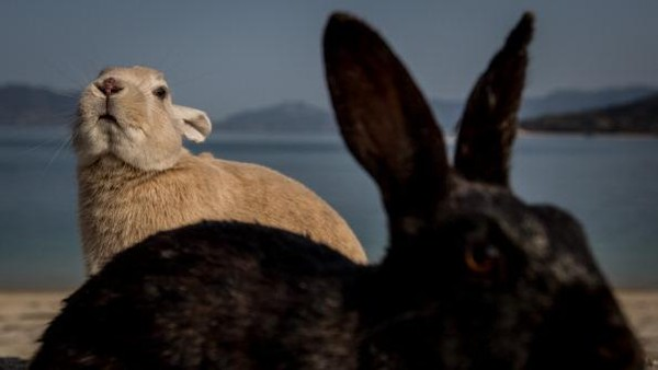 Melansir CNN Indonesia, Pada 1929 ketika tentara mulai membuat senjata kimia, beberapa kelinci dibawa ke Pulau Okunoshima dan digunakan untuk menguji keefektifan gas beracun. Hal itu memunculkan keyakinan bahwa para pekerja mungkin telah melepaskan kawanan kelinci yang setelah perang berakhir.