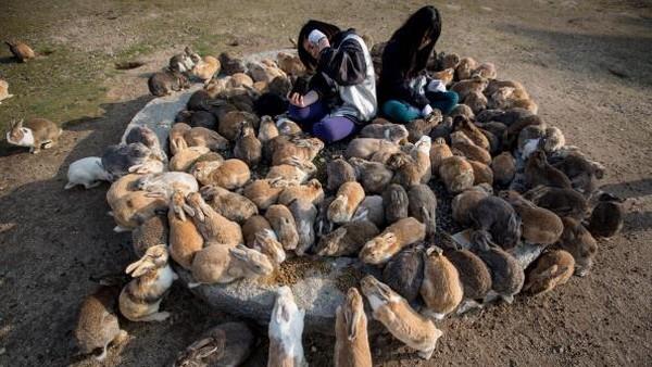 Namun, kisah itu bukan satu-satunya sejarah awal mula kehadiran kelinci-kelinci di Pulau Okunoshima. Teori lain yang juga beredar adalah ada segerombolan anak sekolah yang datang ke pulau itu pada tahun 1971 dengan membawa 8 ekor kelinci. Kelinci-kelinci itu kemudian dilepaskan dengan harapan dapat berkembang biak di pulau ini.