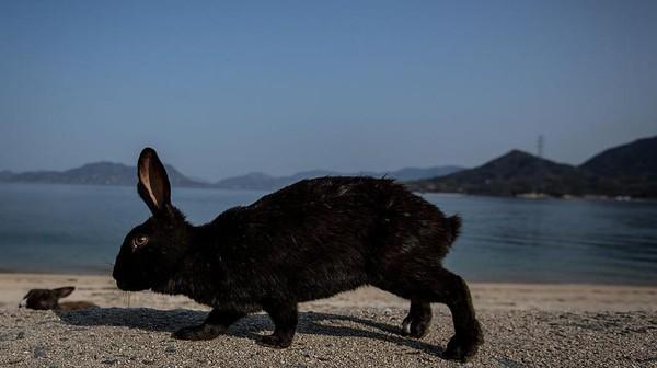 Tak cuma memiliki Pulau Aoshima yang dikenal sebagai pulau kucing, Jepang juga memiliki pulau kelinci.