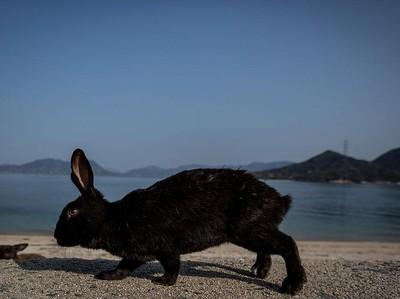 Ada di Jepang, Pulau Ini Penghuninya Kelinci