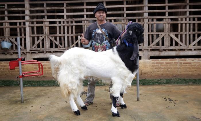 Kambing Hias Lampung
