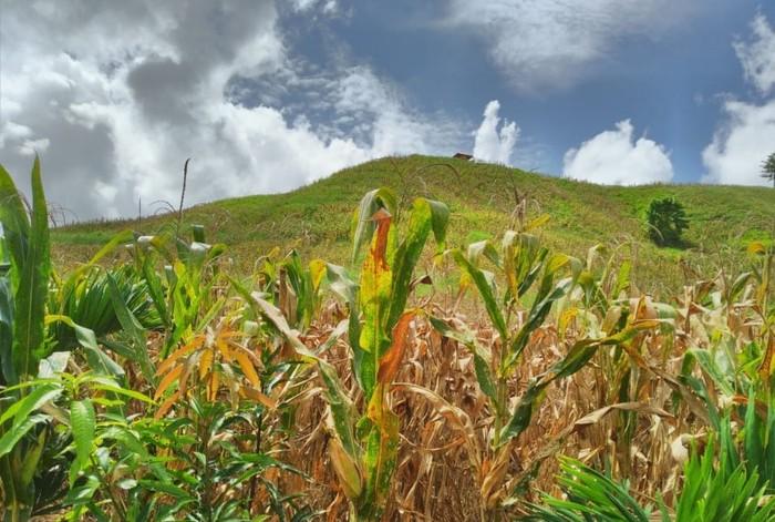 Ladang jagung di Gorontalo